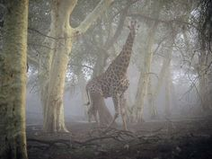 Giraffe, South Africa by Chris Johns, National Geographic