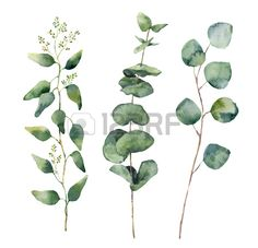 Watercolor Eucalyptus Round Leaves And Branches Set Hand Painted Baby Seeded And Silver Dollar Eucalyptus Elements Floral Illustration Isolated On White Background For Design And Textile Royalty Free Photos Pictures Images and Stock Photography