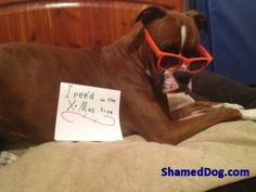 Marking his territory Boxer style!  Merry Christmas from Shamed Dog    #dogshamingI pee'd on the X-Mas tree