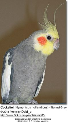Arguably more popular than the Budgerigar, cockatiels are popular household pets in many parts of the world. Today, all pet cockatiels are bred in captivity, as Australia no longer permits the export of native wildlife, whether endangered or not.