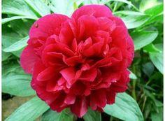 Rostlina | Pivoňka, Paeonia Rose, Garden, Flowers, Plants, Pink, Garten, Lawn And Garden, Gardens, Plant
