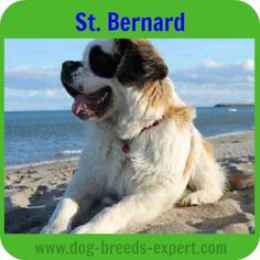 Saint Bernard, one of the calmest dog breeds Calm Dog Breeds, St Bernard Puppy, The Monks, Search And Rescue, Gentle Giant, Dogs Of The World, Dogs And Puppies, Saints