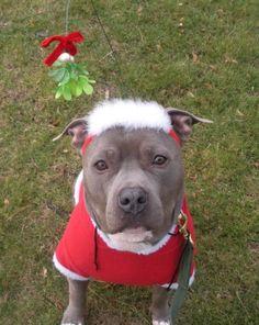 Barkley's new Christmas outfit!! HAHAHA