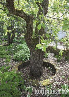 Puun juuristo ei usein kestä maamassan lisäämistä rungon juurelle. Puun ympärille voi jättää matalan renkaan kasvualustaa lisätessä. www.kotipuutarha.fi