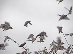 Waxwings on the move - A flock of waxwings in search of food caught against the dull winter sky a year or two ago.