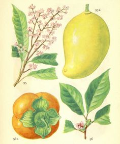Antique Botanical Images Mango and Persimmon or Papaya and Avocado  - 2 Illustrations from Danish Nytte Planter.
