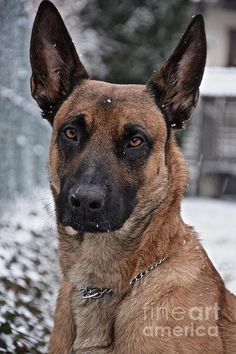 http://fineartamerica.com/featured/2-belgian-malinois-photos-by-zulma.html?newartwork=true