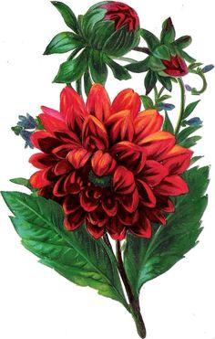Oblaten Glanzbild scrap die cut  chromo  Blume flower  Dahlie  14cm at.picclick.com