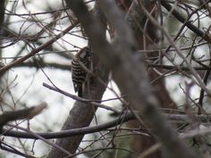 """This is a """"Japanese pygmy woodpecker """" or """"kogera"""" in Japanese . As its back of the head is red, it may be a male. I took this photo in Japan on Feb 5 2016."""