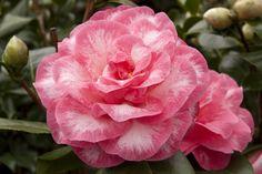 Camellia Betty Sheffield Supreme | Camellia_'Betty_Sheffield_Supreme'_flowers_photo_file_489KB.jpg
