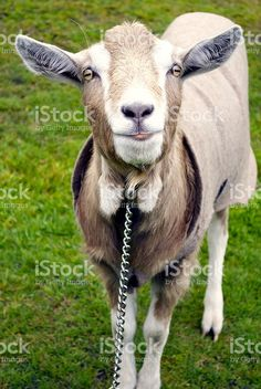 A Portrait of a curious Goat. Agriculture Photos, Goat Milk, Image Now, Health Benefits, Goats, Royalty Free Stock Photos, Portraits, Animals, Animales