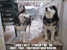 Husky blame game