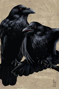 ravens drawing by Christian Hammer