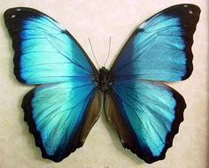 Blue Morpho  Morpho Deidamia