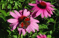 Röd rudbeckia 'Magnus'