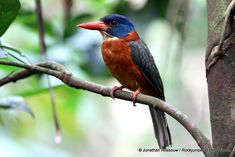 """""""Best of the forest"""" Green-backed kingfishers are endemic to Indonesia and are threatened by habitat loss in subtropical or tropical moist lowland forests. ( Jonathan Rossouw)"""