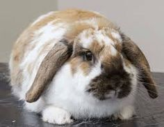 Image result for Poppy the fat Rabbit