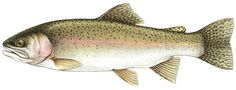 Different Types of Trout Fish