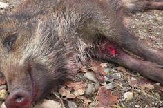 Wenn es um die Wildschweinjagd im Gatter geht, geraten VGT und Mayr-Melnhof oft aneinander.