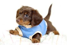 Image result for dachshund cute