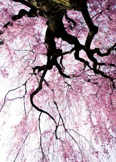 sakura blossoms #japan.   How I long to see this sight and smell the beautiful scent!!  One day