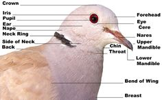 Learn more about the anatomy of the ringneck dove bird species at:  http://wwingsaviary.lbbhost.com/AviaryPages/TheBird.html