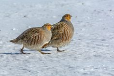 """The Grey Partridge """"Patridges drumming in the fall means a mild and open winter. Small Birds, Colorful Birds, Animal Of Scotland, Grey Partridge, Quails, Cardinal Birds, Funny Birds, Kinds Of Birds, Game Birds"""
