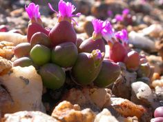 Photo Guide to Plants of Southern Africa Oophytum oviforme (N.E.Br.) N.E.Br