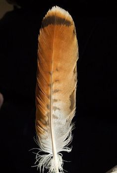 red tail hawk feather meaning Red Tail Hawk Feathers, Eagle Feathers, Bird Feathers, Bald Eagle Feather, Feather Painting, Feather Art, Feather Tattoos, Arm Tattoos, Feather Meaning