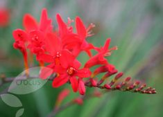 Buy montbretia Crocosmia Lucifer - Bright red flowers are ideal cut flowers: 2 litre pot: Delivery by Crocus Crocosmia, Cut Flowers, Shrubs, Perennials, Floral, Plants, Beautiful, Gardens, Yard
