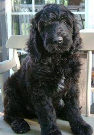 Black Goldendoodle- reminds me of Kiki, my Labrador/Bichon Frise mix! Chien Goldendoodle, Goldendoodle Black, Australian Labradoodle, Goldendoodles, Labradoodles, Cute Puppies, Cute Dogs, Dogs And Puppies, Doggies
