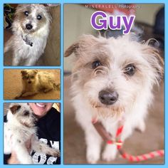 Hi, my name is Guy! I'm new to K-9 Angels, and I'm so thankful we found each other. I had a rough past, but it's amazing what lots of love, treats and kisses can do! When I met my foster mom, we hit it off right away. She knew I was a little scared, so she just held me while all of the other dogs played. When she took me home, she could tell I needed some time to adjust, and for my first day at our home, I stayed to myself, but every single day I am becoming braver and braver. I am still…