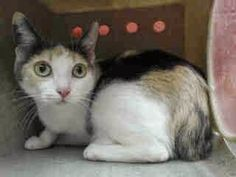 lizardmarsh: DOWNEY CA: GOOD NEWS! RE: $110 PLEDGED. Still alive but waiting to die. RE: PETULA - ADORABLE & PREGNANT blue dilute CALICO OVERLOOKED 1.5 Y/O with big green saucer eyes