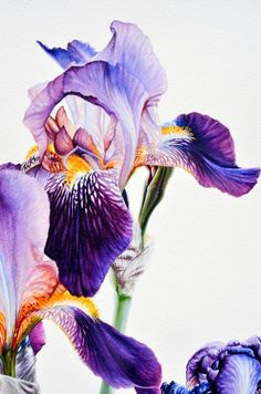 Iris Painting, Watercolor Paintings, Plant Illustration, Botanical Illustration, Badass Drawings, Iris Art, Amarillis, Floral Illustrations, Botanical Art