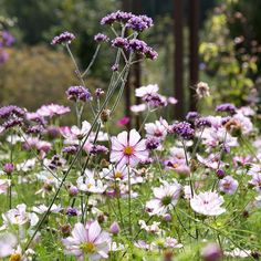 A spectacular blend of cosmos and verbena spotted at a few years back both of which are easy to grow from seed. What's on your 'to sow' list for next year? Garden Mum, Lawn And Garden, Garden Oasis, Cosmos Flowers, Cosmos Plant, Raised Flower Beds, Herbaceous Border, London Garden, English Country Gardens