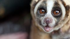 """Slow Loris-this nocturnal primate, found in indo-China, Vietnam and Cambodia, is endangered - up to 90 percent have been wiped out.    For all 10 species of lorises, illegal trade """"is their number one threat,"""" she said."""