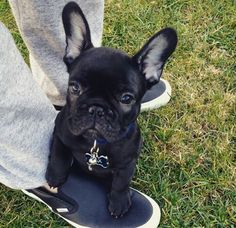 French Bulldog Puppy❤️