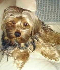 Wheaten Terrier Mix, Chihuahua Terrier Mix, Bull Terrier Dog, Purebred Dogs, Yorkshire Terrier, Dog Life, Animal Rescue, Pet Adoption, Dog Breeds