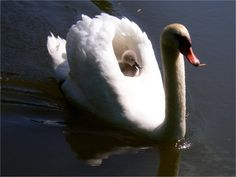 mother and baby swans
