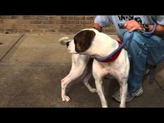 Talking Dogs at For Love of a Dog: Adopt Esmerelda a #PitBull Dog @HSMO in #StLouis | Tuesday's Tails