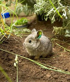 At the Oregon Zoo, pygmy rabbits may be starting to repopulate their natural range thanks to endangered pygmy rabbit recovery partners at the Washington Department of Fish & Wildlife.