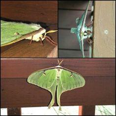 Luna Moth!!
