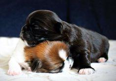 Our Shih Tzu puppies, Brigit and Shammy. Lots of puppy love going around ❤️
