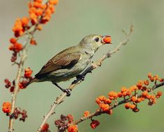 https://flic.kr/p/4S1hnD   #269 綠啄果饒   綠啄花.攝於台灣 台北縣 烏來 Plain Flowerpecker, taken at Taipei County, WuLai, TAIWAN