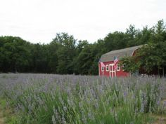 The Beautiful Lavender Farm Hiding In Plain Sight In Texas That You Need To Visit | Only In Your State