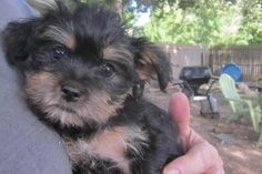 Brusselshire Terrier Girl#1 is an adoptable Brussels Griffon Dog in Belleville, IL. Offered for adoption is a litter of six Brusselshire Terriers purchased into rescue from a commercial breeder who wa...