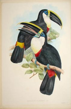 John Gould bird Toucans