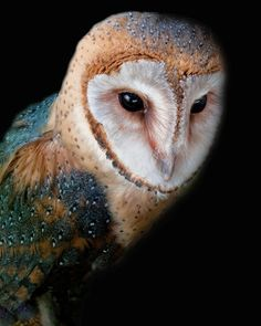 Barn Owl by Barbara Motter - Photo 55558324 - Beautiful Owl, Animals Beautiful, Owl Bird, Pet Birds, Lechuza Tattoo, Animals And Pets, Cute Animals, Reptiles, Owl Species