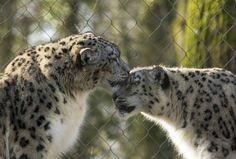 Snow Leopards (by MartynGwhizz Photography)