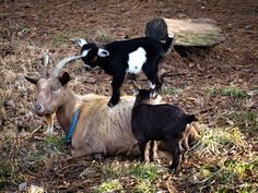 Pleasant View Schoolhouse: In Goat News . . .